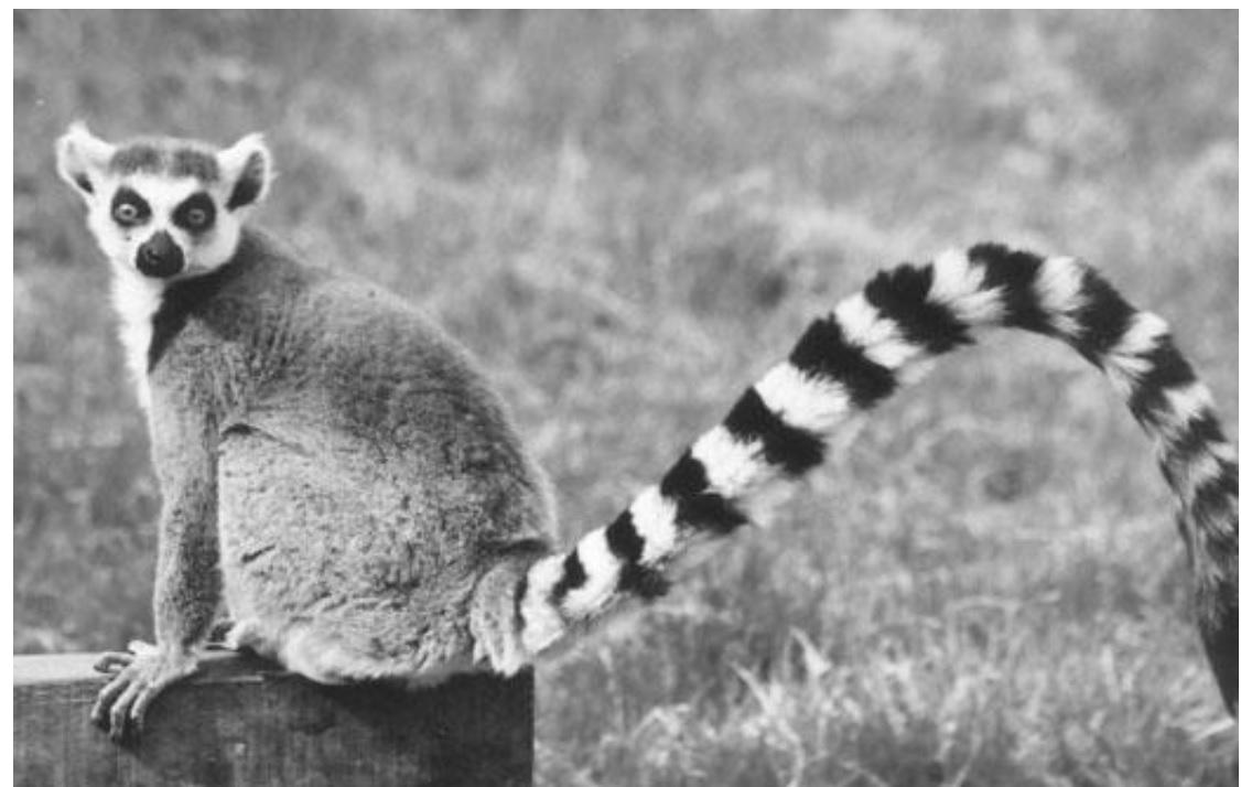 Cechy lemura kwalifikujące go do gromady ssaków.