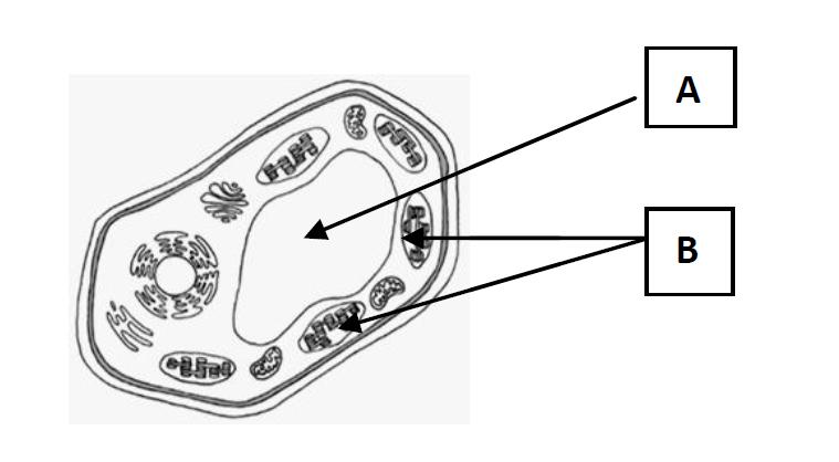 Schemat komórki roślinnej.