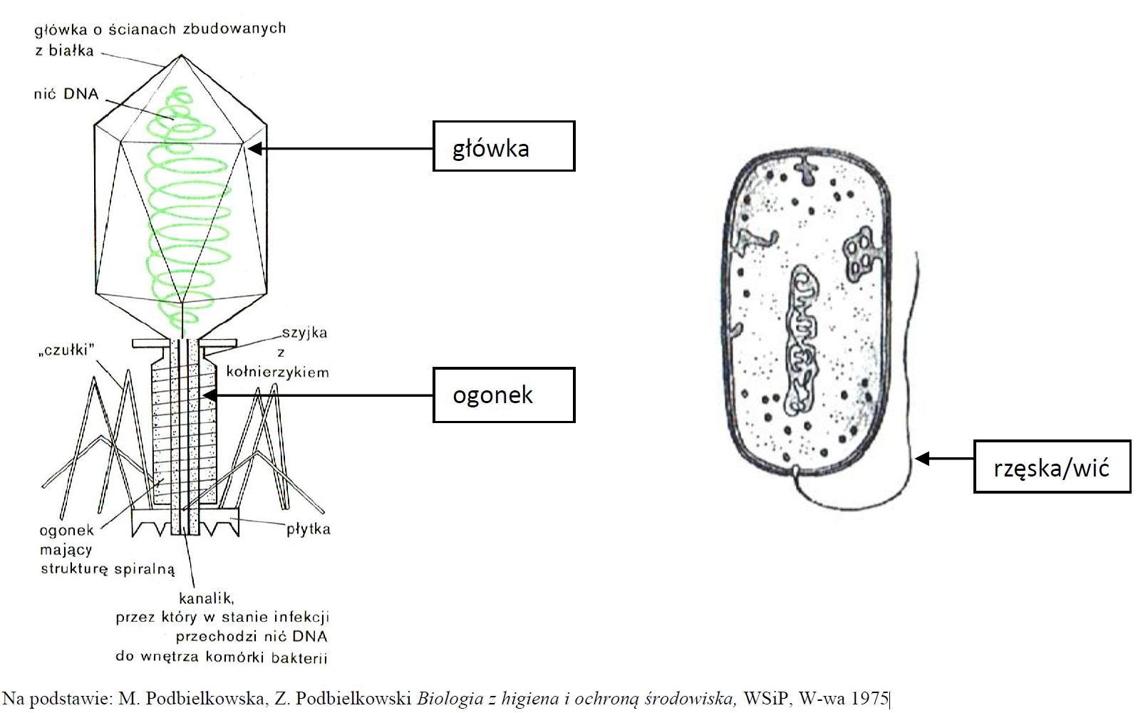 Schemat budowy wirusa i bakterii.
