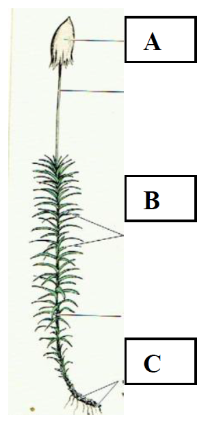 Na rysunku przedstawiono budowę rośliny, która nie posiada wykształconych organów…