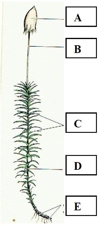Budowa roślin o niewykształconych organach.