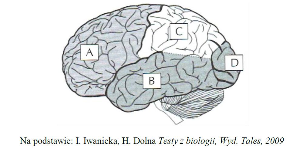 Budowa mózgu. Położenie płątów mózgu.
