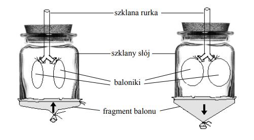 Na rysunku przedstawiono model klatki piersiowej, który uczniowie wykorzystali do zilustrowania pewnego procesu.