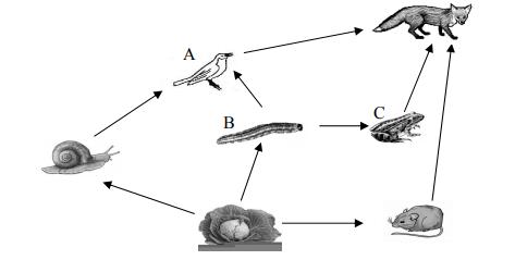 Na schemacie przedstawiono wybrane zależności pokarmowe w biocenozie pola kapusty. Literami A, B, C oznaczono wybrane populacje.