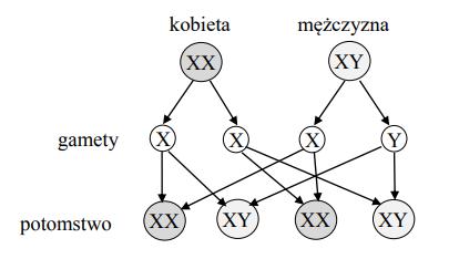 Na rysunku przedstawiono schemat dziedziczenia płci u człowieka. Chromosomy płci oznaczono literami X i Y.