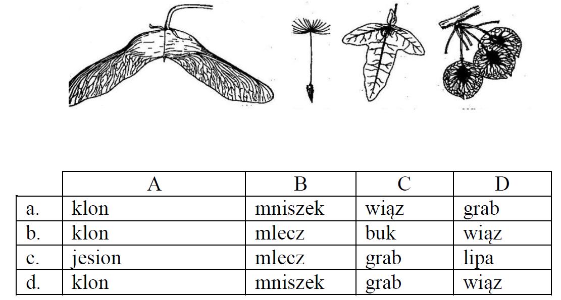 Na rysunkach przedstawiono owoce roślin wiatrosiewnych, wyposażonych w skrzydełka, haczyki lub puszek, zwane niełupkami. Owoce te są charakterystyczne dla następujących roślin…