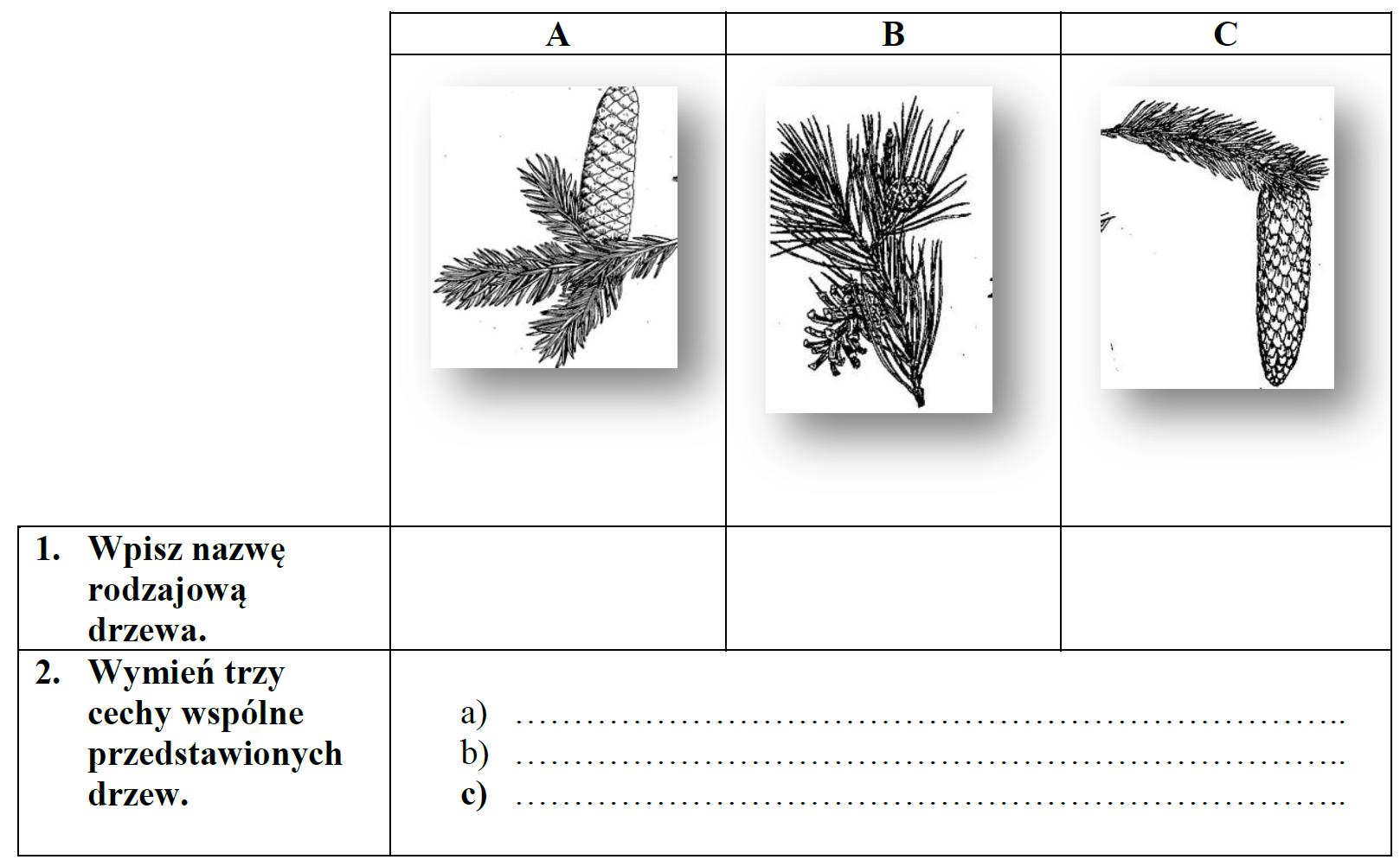 Przeanalizuj rysunki fragmentów polskich drzew iglastych, a następnie wykonaj polecenie 1 i 2 w tabelce