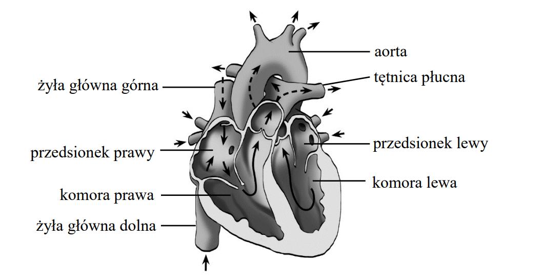 Na rysunku przedstawiono przekrój serca człowieka. Strzałkami oznaczono kierunek przepływu krwi.