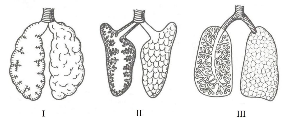 Na rysunku przedstawiono budowę płuc trzech gromad kręgowców.