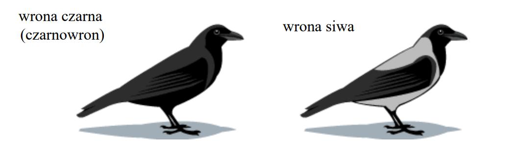 Przed tysiącami lat, w Europie, w wyniku rozdzielenia pierwotnego gatunku wrony przez nasuwający się lądolód powstały dwie formy tego gatunku…